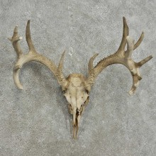 Whitetail Deer Skull European Mount For Sale #15928 @ The Taxidermy Store