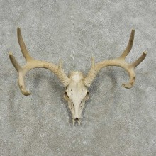 Whitetail Deer Skull European Mount For Sale #15933 @ The Taxidermy Store