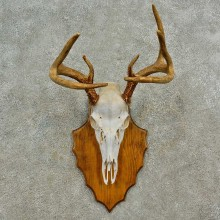 Whitetail Deer Skull European Mount For Sale #16587 @ The Taxidermy Store