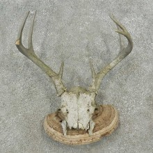 Whitetail Deer Skull & Antler Rustic Taxidermy Mount For Sale