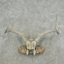 Whitetail Deer Skull & Antler Rustic Mount For Sale #16734 @ The Taxidermy Store