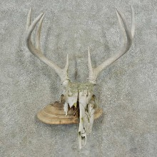 Whitetail Deer Skull & Antler Rustic Mount For Sale #16735 @ The Taxidermy Store