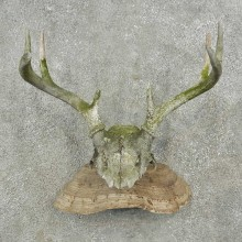 Whitetail Deer Skull & Antler Rustic Mount For Sale #16736 @ The Taxidermy Store