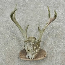 Whitetail Deer Skull & Antler Rustic Mount For Sale #16737 @ The Taxidermy Store