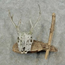 Whitetail Deer Skull & Antler Rustic Mount For Sale #16738 @ The Taxidermy Store