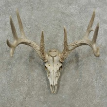 Whitetail Deer Skull European Mount For Sale #16879 @ The Taxidermy Store