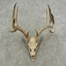 Whitetail Deer Skull European Mount For Sale #16880 @ The Taxidermy Store