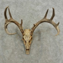 Whitetail Deer Skull European Mount For Sale #16882 @ The Taxidermy Store