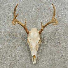 Whitetail Deer Skull European Mount For Sale #16920 @ The Taxidermy Store