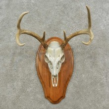 Whitetail Deer Skull European Mount For Sale #16931 @ The Taxidermy Store