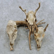 Whitetail Deer Skull Set Mount For Sale #15871 @ The Taxidermy Store