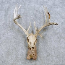 Whitetail Deer Skull Horn Taxidermy Mount For Sale #13952 @ The Taxidermy Store