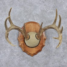 Whitetail Deer Taxidermy Antler Plaque Mount #12527 For Sale @ The Taxidermy Store