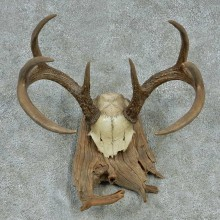 Whitetail Skull Cap & Antlers Taxidermy Mount #13253 For Sale @ The Taxidermy Store