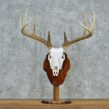 Whitetail European Pedestal Taxidermy #13036 For Sale @ The Taxidermy Store
