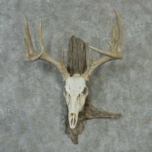 Whitetail Skull & Antlers Mount