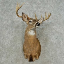 Whitetail Deer Shoulder Mount For Sale #16725 @ The Taxidermy Store