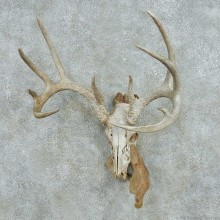 Whitetail Deer Skull Antlers European Mount #13568 For Sale @ The Taxidermy Store