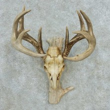 Whitetail Deer Skull Antlers European Mount #13571 For Sale @ The Taxidermy Store
