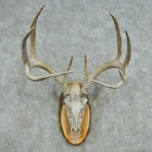 Whitetail Deer Skull Antlers European Mount #13572 For Sale @ The Taxidermy Store