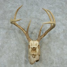 Whitetail Deer Skull Antlers European Mount #13575 For Sale @ The Taxidermy Store