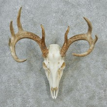 Whitetail Skull & Antlers Taxidermy European Mount #12875 For Sale @ The Taxidermy Store