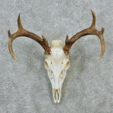 Whitetail Deer Skull & Antler European Mount