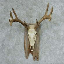 Whitetail Skull & Antlers European Mount #13318 For Sale @ The Taxidermy Store