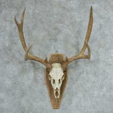 Mule Deer Skull & Antlers European Mount #13322 For Sale @ The Taxidermy Store