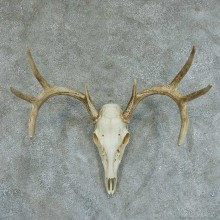 Whitetail Deer Skull & Antlers European Taxidermy Mount #13348 For Sale @ The Taxidermy Store