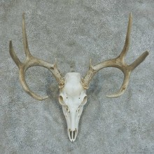 Whitetail Deer Skull & Antlers European Taxidermy Mount #13360 For Sale @ The Taxidermy Store