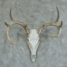 Whitetail Deer Skull & Antlers European Taxidermy Mount #13362 For Sale @ The Taxidermy Store