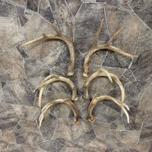 Whitetail Deer Antler Craft Pack For Sale #21824 @ The Taxidermy Store