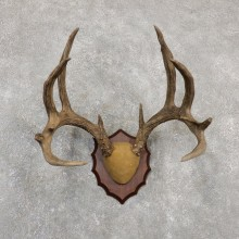 Whitetail Deer Antler Plaque Mount #20033 For Sale @ The Taxidermy Store