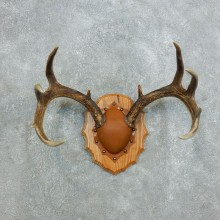 Whitetail Deer Antler Plaque Mount For Sale #18424 @ The Taxidermy Store