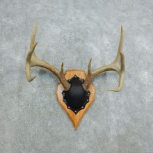 Whitetail Deer Antler Plaque Mount For Sale #18439 @ The Taxidermy Store