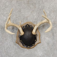 Whitetail Deer Antler Plaque Mount For Sale #19023 @ The Taxidermy Store