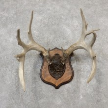 Whitetail Deer Antler Plaque Mount For Sale #19107 @ The Taxidermy Store