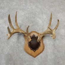 Whitetail Deer Antler Plaque Mount For Sale #19126 @ The Taxidermy Store