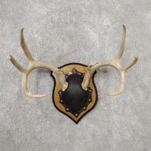 Whitetail Deer Antler Plaque Mount For Sale #19127 @ The Taxidermy Store