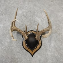 Whitetail Deer Antler Plaque Mount For Sale #19129 @ The Taxidermy Store