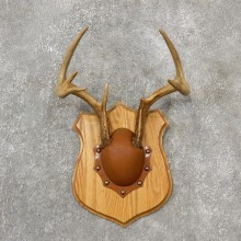 Whitetail Deer Antler Plaque Mount For Sale #19142 @ The Taxidermy Store