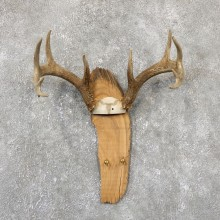 Whitetail Deer Antler Plaque Mount For Sale #19330 @ The Taxidermy Store