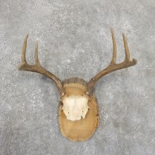 Whitetail Deer Antler Plaque Mount For Sale #19332 @ The Taxidermy StoreWhitetail Deer Antler Plaque Mount For Sale #15380 @ The Taxidermy Store