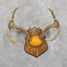 Whitetail Deer Antler Plaque Mount For Sale #19514 @ The Taxidermy Store