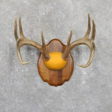 Whitetail Deer Antler Plaque Mount For Sale #19515 @ The Taxidermy Store