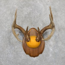 Whitetail Deer Antler Plaque Mount For Sale #19516 @ The Taxidermy Store