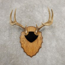 Whitetail Deer Antler Plaque Mount For Sale #20986 @ The Taxidermy Store