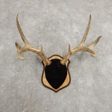 Whitetail Deer Antler Plaque Mount For Sale #20995 @ The Taxidermy Store
