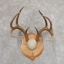 Whitetail Deer Antler Plaque Mount For Sale #21347 @ The Taxidermy Store